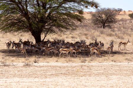 springbok: herd of springbok hiding under a big acacia from the midday heat, Kgalagadi Transfontier park, South Africa Stock Photo