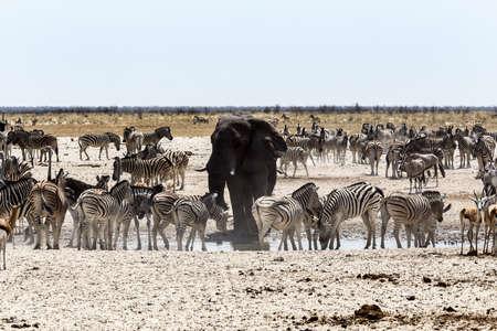 pozo de agua: Beber elefante africano junto con las cebras y antílopes en una charca fangosa, Etosha National Park, Ombika, Kunene, Namibia. La verdadera vida al aire libre