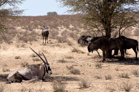 Gemsbok, Oryx gazella and Gnu in african bush, Kgalagadi Transfrontier Park, Namibia, true wildlife photo