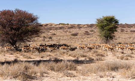 herd of springbok hiding under a big acacia from the midday heat, Kgalagadi Transfontier park, South Africa photo