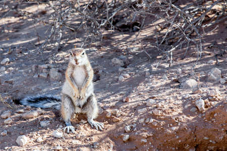 kalahari: South African ground squirrel Xerus inauris,with tail, Kalahari, South Africa