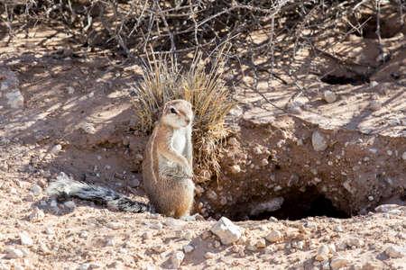 xerus inauris: South African ground squirrel Xerus inauris,with tail, Kalahari, South Africa