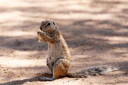 xerus inauris: South African ground squirrel Xerus inauris,with tail eats food,Kalahari, South Africa Stock Photo
