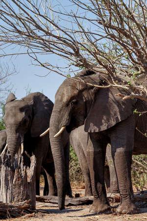 chobe national park: Portrait of African Elephant in Chobe National Park, Botswana. True wildlife photography Stock Photo