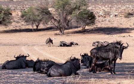 kgalagadi: wild Wildebeest Gnu, Kgalagadi, South Africa, true wildlife