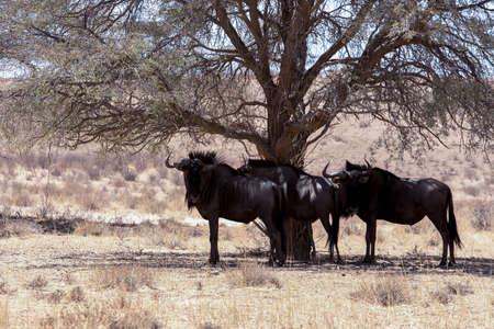 kgalagadi: wild Wildebeest Gnu grazing, Kgalagadi, South Africa, true wildlife