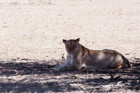 kalahari: beautiful lioness Resting in the shade, Kalahari transfontier park, namibia