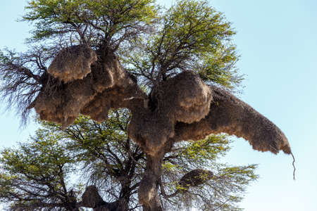 weaver bird nest: African sociable weaver big nest on tree, african landscape, Kgalagadi Transfrontier Park, Botswana, true wildlife