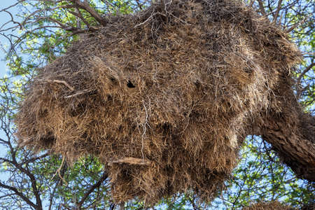 sociable: African socievole tessitore grande nido su un albero, paesaggio africano, Kgalagadi Transfrontier Park, Botswana, vero fauna selvatica Archivio Fotografico