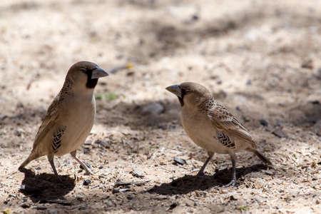 sociable: Socievole tessitore Uccello a Kgalagadi parco transfontier, Sud Africa