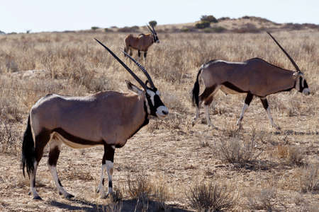 kgalagadi: Gemsbok, Oryx gazella, Kgalagadi Transfrontier Park, Namibia, true wildlife