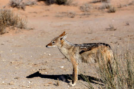 black-backed jackal (Canis mesomelas)Kgalagadi Transfrontier Park, Botswana, true wildlife photo