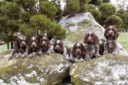 english cocker spaniel: portrait of small puppies of English Cocker Spaniel outdoor Stock Photo