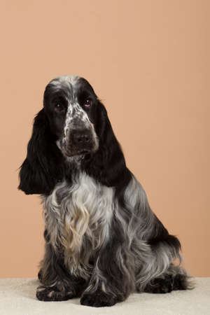 english cocker spaniel: portrait of english cocker spaniel, european champion, breeding station