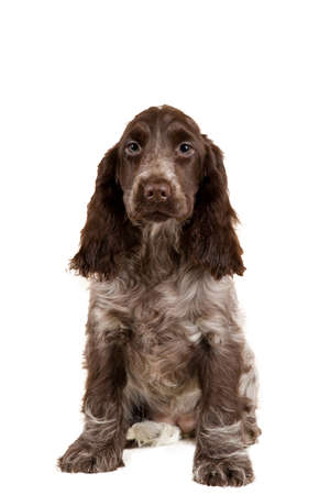 english cocker spaniel: isolated portrait of english cocker spaniel, european champion, breeding station