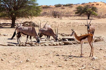 herd of Gemsbok, Oryx gazella and springbok on waterhole,dominant Gemsbok antelope in the park, Kgalagadi, South Africa photo