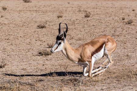 antidorcas: Portrait of Springbok Antidorcas marsupialis, Kgalagadi Transfontier park, South Africa. True wildlife photography