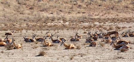 springbuck: herd of springbok, Kgalagadi Transfontier park, South Africa Stock Photo