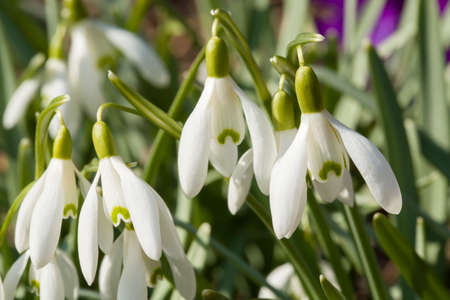 plantlife: first flower Galanthus Snowdrop bloom in spring garden Stock Photo