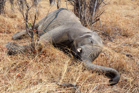 Small dead elephant in national park hwankee, Botswana, circle of life