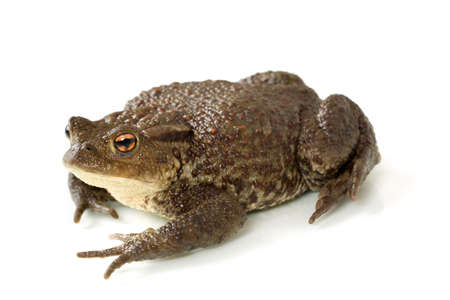 bufo toad: Common toad, bufo bufo, isolated on white background