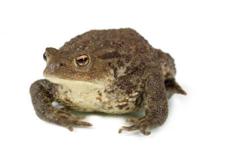 amphibia: Common toad, bufo bufo, isolated on white background