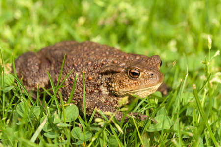 bufo toad: European common toad, bufo bufo sitting in grass, outdoor sunny day