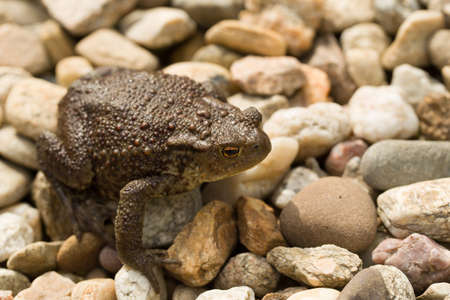 bufo bufo: European common toad, bufo bufo sitting on stone, outdoor sunny day