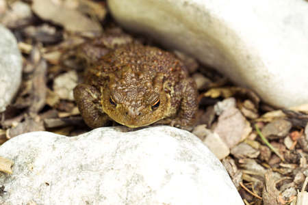 bufo toad: European common toad, bufo bufo sitting on stone, outdoor sunny day