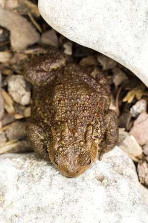 wart: European common toad, bufo bufo sitting on stone, outdoor sunny day
