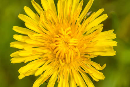 macro of Yellow dandelion with shallow focus on a blurry green background photo