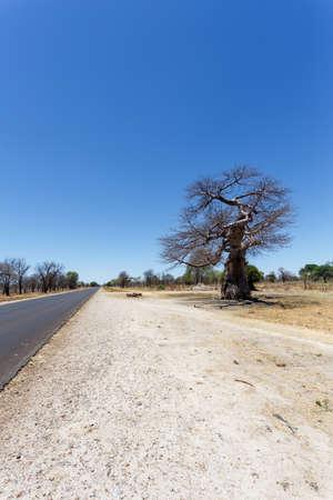 adansonia: majestic old baobab tree (Adansonia digitata)) - Ngoma, Botswana Zimbabwe border