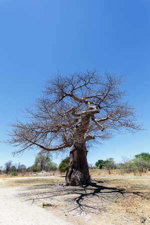 digitata: majestic old baobab tree (Adansonia digitata)) - Ngoma, Botswana Zimbabwe border