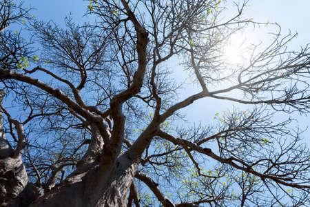 majestic old baobab tree (Adansonia digitata)) - Kasane, Botswana
