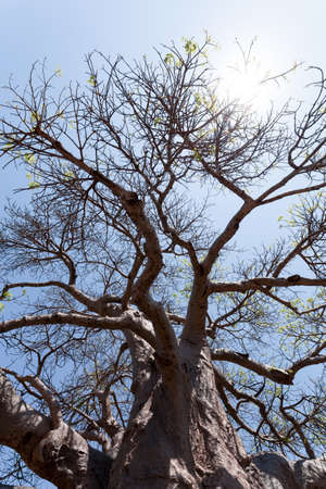 adansonia: majestic old baobab tree (Adansonia digitata)) - Kasane, Botswana