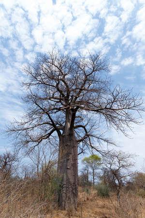 digitata: Lonely old baobab tree (Adansonia digitata)) - Namibia, South-West Africa against blue sky