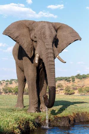 Portrait de l'éléphant d'Afrique dans le parc national de Chobe, au Botswana. Vrai photographie de la faune Banque d'images - 40125053