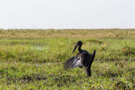 anastomus: African Openbill with wings spread to the evening sun, Chobe river, Botswana