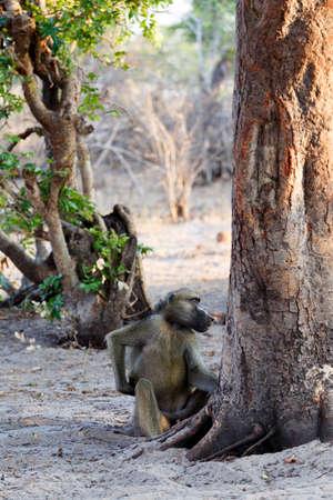 anubis: family of Chacma Baboon (Papio anubis), Nambwa National Park in Namibia Stock Photo