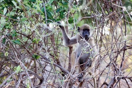 anubis: Chacma Baboon (Papio anubis), Nambwa National Park in Namibia Stock Photo