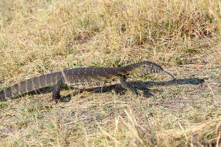lizard in field: Monitorear Lagarto, Varanus niloticus en la sabana, nambwa aparcar Namibia, África