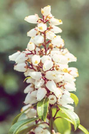 erica: Beautiful Erica carnea flower in spring garden, macro photo, retro vintage color tone Stock Photo
