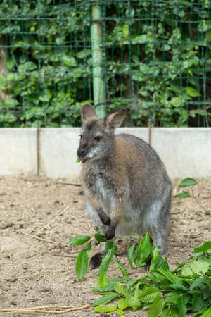necked: grazzing cute Red necked Wallaby, kangaroo (Macropus rufogriseus)