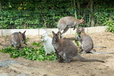 necked: grazzing family of cute Red necked Wallaby, kangaroo with baby in bag and with white albino female Stock Photo