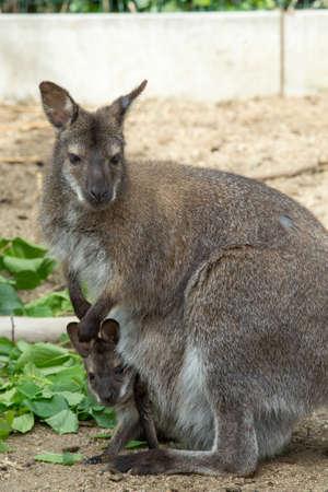necked: grazzing rode hals Wallaby, kangoeroe met baby in zak Stockfoto