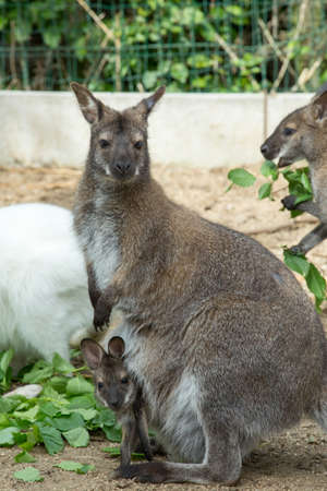 necked: grazzing Red necked Wallaby, kangaroo with baby in bag Stock Photo