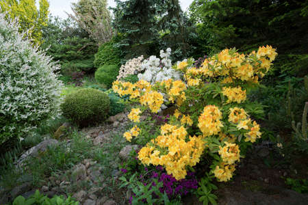 conifers: Beautiful spring garden design with flowering rhododendron and conifers