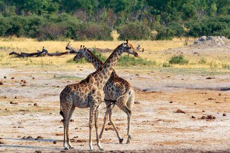 giraffa: neck crossing of Giraffa camelopardalis in national park, Hwankee, Botswana