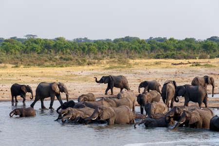 pozo de agua: manada de elefantes africanos beber y bañarse en el pozo de agua, Botswana, hwankee. La verdadera vida al aire libre Foto de archivo