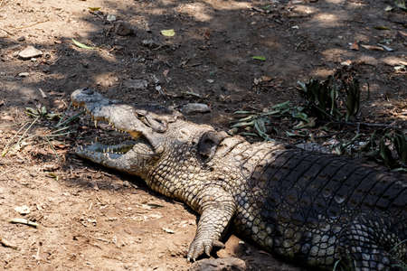 crocodylus: Portrait of a Nile Crocodile Crocodylus niloticus, Victoria Falls Stock Photo